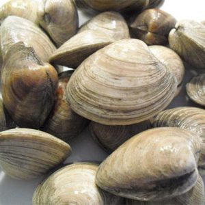 Top Neck FL Clam  / Doz