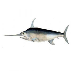 Swordfish / Lb
